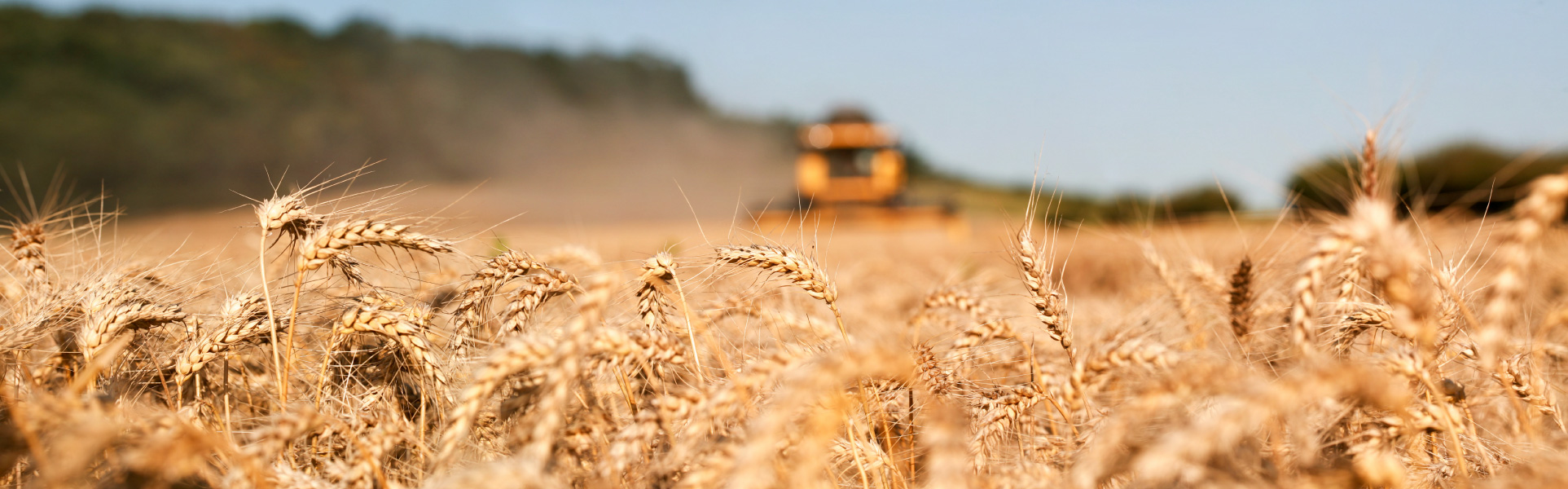 A farmer cutting his wheat crop